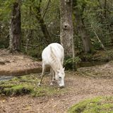 Beautiful portrait of New Forest pony in Autumn woodland landsca. Beautiful New Forest pony in Autumn woodland landscape with vibrant Fall color all around stock photos