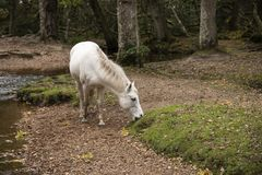 Beautiful portrait of New Forest pony in Autumn woodland landsca stock image