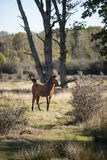 Beautiful portrait of New Forest pony in Autumn woodland landscape with vibrant Fall color all around. Beautiful New Forest pony in Autumn woodland landscape stock images