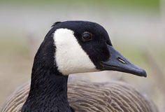 Free Beautiful Portrait Of A Funny Canada Goose Royalty Free Stock Image - 78082416