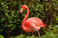 Beautiful portrait of one wild pink flamingo among green trees. Famous wild birds of phoenicopterus family. Pink flamingo red wing Stock Photography
