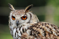 A beautiful portrait of an owl. Royalty Free Stock Photo