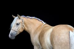 Portrait of a Palomino horse  on black background Stock Photos