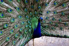 Beautiful portrait of peacock with feathers out. Beautiful portrait of a peacock with feathers out Stock Photo