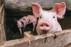 Beautiful portrait of a pink pig in a sty. The interior of a farm building. The pigs are ready for slaughter Stock Image