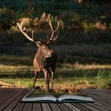 Beautiful portrait of red deer stag Cervus Elaphus in colorful Autumn Fall woodland landscape coming out of pages in magical story. Stunning portrait of red deer royalty free stock photos