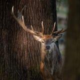 Beautiful portrait of red deer stag Cervus Elaphus in colorful A. Stunning portrait of red deer stag Cervus Elaphus in colorful Autumn Fall woodland landscape stock photography