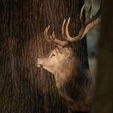 Beautiful portrait of red deer stag Cervus Elaphus in colorful A. Stunning portrait of red deer stag Cervus Elaphus in colorful Autumn Fall woodland landscape royalty free stock image