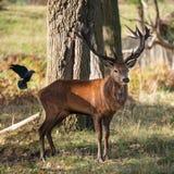 Beautiful portrait of red deer stag Cervus Elaphus in colorful A. Stunning portrait of red deer stag Cervus Elaphus in colorful Autumn Fall woodland landscape royalty free stock images