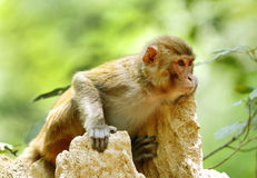 Beautiful portrait of Rehsus Macaque Stock Photo