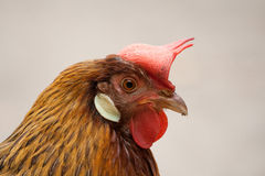 Beautiful portrait of a rooster. Nice portrait of a rooster Stock Photo
