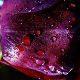 Macro Of Rose With Water Droplets. Beautiful portrait of Rose is of the genus Rosa, in the family Rosaceae. The flowers have petals is divided into two distinct royalty free stock images