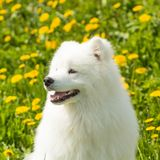 Beautiful portrait of a Samoyed dog on green background of grass Royalty Free Stock Images