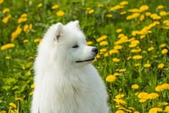 Cute Dog Samoyed puppy in profile on a background of grass Royalty Free Stock Photo