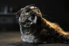 Beautiful portrait of a Scottish fold cat dark or tortoiseshell color on a dark background, lighting warm light stock photography