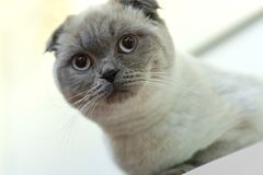 Beautiful portrait of a Scottish Fold. the cat looks and waits. playful cat waiting for a toy. for decoration and design stock photos