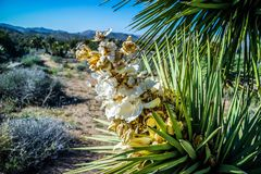 A white flowering yucca plant in Joshua National Park, California stock photos