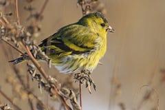 Beautiful portrait siskin. Winter day, the bird eats seeds Stock Photos