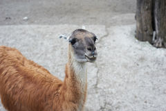 Beautiful portrait of the smiling brown lama. Looking at the camera royalty free stock image