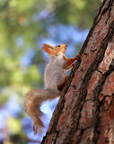Beautiful portrait of a squirrel Royalty Free Stock Photos