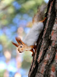 Beautiful portrait of a squirrel Stock Photography