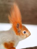 Beautiful portrait of a squirrel Stock Photos