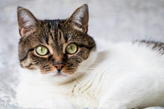 Beautiful portrait of a tabby cat lying on the bed and looking into the camera. Funny colored cat with striped head and back and w Royalty Free Stock Image