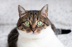 Beautiful portrait of a tabby cat lying on the bed and staring into the camera. Funny colored cat with striped head and back and w Stock Photography
