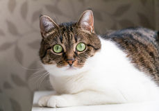 Beautiful portrait of a tabby cat lying on table and staring into the camera. Funny colored cat with striped head and back and whi. Te chest, looking curiously Stock Photos