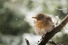 Portrait of a Thrush bird. A beautiful portrait of a Thrush bird sitting in a naked tree during cold winter day royalty free stock photography