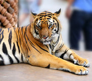 Beautiful portrait of a tiger Royalty Free Stock Photos