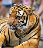 Beautiful portrait of a tiger Royalty Free Stock Photo