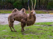 Beautiful portrait of a white bactrian camel standing in a pasture, domesticated animal from Asia. A beautiful portrait of a white bactrian camel standing in a stock photos