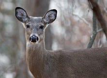 Beautiful portrait of a wild deer Stock Image