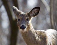 Beautiful  portrait of a wild deer in the forest Stock Photo