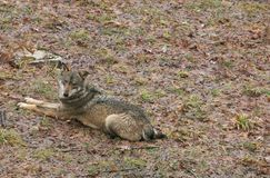 Beautiful portrait of wild gray wolf sitting in the abruzzo mountain Royalty Free Stock Photos