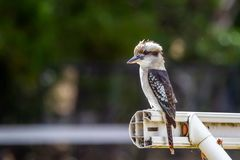 Wild Laughing Kookaburra Portrait, Kallista, Victoria, Australia, March 2019 stock photo