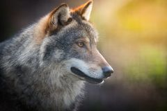 Scary dark gray wolf Canis lupus stock photo