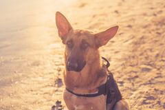 Beautiful portrait of young German shepard dog sitting on the shore of sea on the beach at sunset royalty free stock photo