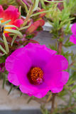 Beautiful portulaca oleracea flower. Royalty Free Stock Photography