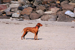 Beautiful Posing Dog on Oregon Beach Royalty Free Stock Image