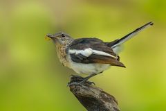 Beautiful position of young Oriental Magpie Robin Royalty Free Stock Photography