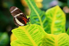 Beautiful Postman Butterfly on a Leaf. A beautiful Postman (Heliconius Melpomene) butterfly native to Neotropical zone photographed in Phoenix, Arizona Royalty Free Stock Image