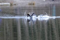 Cormorant getting fish, eating with dancing