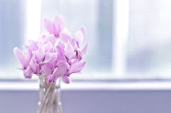 Beautiful posy of cyclamens in vase Royalty Free Stock Photos