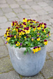 beautiful pot pansies in spring time Royalty Free Stock Photos