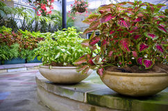 Beautiful potted coleus plants Royalty Free Stock Photography