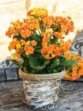 Beautiful potted succulent Kalanchoe blossfeldiana flower Royalty Free Stock Photos