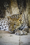 Beautiful and powerful leopard resting in the sun Stock Photography