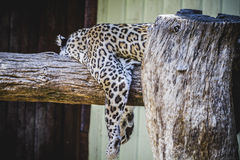 Beautiful and powerful white leopard resting in the sun Royalty Free Stock Images